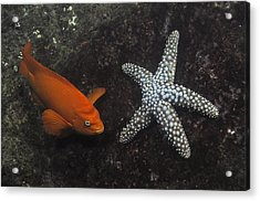 Garibaldi With Starfish Underwater Acrylic Print by Flip Nicklin