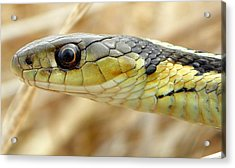 Garter Snake Macro Acrylic Print by Griffin Harris