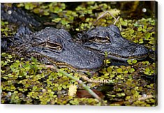 Gator Babies Acrylic Print by Andres Leon