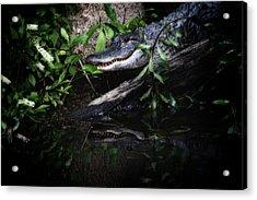 Gator Reflect Acrylic Print by Karol Livote
