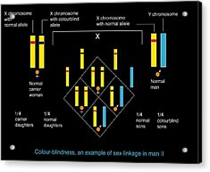 Genetics Of Colour Blindness, Diagram Acrylic Print by Francis Leroy, Biocosmos