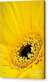 Gerbera Flower Acrylic Print by Elena Elisseeva