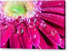 Gerbera Rain Droplets Acrylic Print by Michelle McMahon