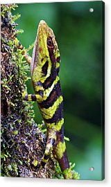 Giant Anole Dactyloa Microtus Male Acrylic Print by James Christensen