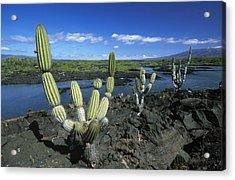 Giant Candelabra Cactus Jasminocereus Acrylic Print by Winfried Wisniewski