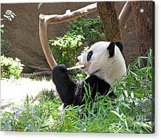 Giant Panda In San Diego Zoo 77 Acrylic Print by Ausra Huntington nee Paulauskaite