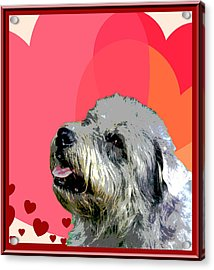 Glen Of Imaal Terrier Acrylic Print by One Rude Dawg Orcutt