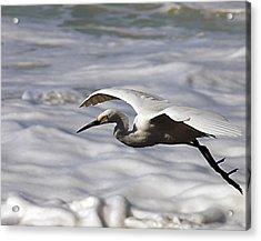Gliding Egret Acrylic Print by Joe Schofield