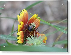 Glory Bumblebee Acrylic Print by Michel DesRoches