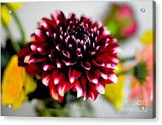 Glowing Dahlia Acrylic Print by Pravine Chester