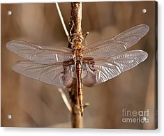 Golden Dragonfly Wings Acrylic Print by Carol Groenen