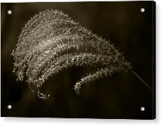 Golden Grass Acrylic Print by Tom Bell