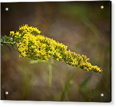 Golden Number One Acrylic Print by Michael Putnam