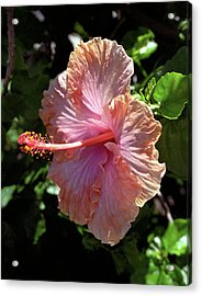 Golden Peach Hibiscus Acrylic Print by Kevin Smith