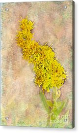 Goldenrod Acrylic Print by Judi Bagwell