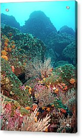 Gorgonian Fans And Cup Coral On Rocky Seabed Acrylic Print by Sami Sarkis