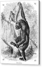 Gorilla Acrylic Print by Granger