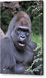 Gorilla Acrylic Print by Mike Martin