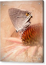 Gray Hairstreak Butterfly Acrylic Print by Betty LaRue