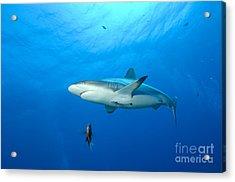 Gray Reef Shark. Papua New Guinea Acrylic Print by Steve Jones
