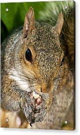 Gray Squirrel Acrylic Print by Fabrizio Troiani