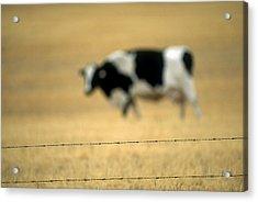 Grazing Cow, Alberta, Canada Acrylic Print by Ron Watts
