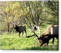 Grazing Elk  Acrylic Print by The Kepharts