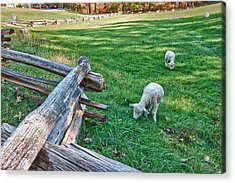 Grazing Farm Animals At Booker T. Washington National Monument Park Acrylic Print by James Woody