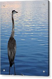 Great Blue Acrylic Print by Christy Usilton