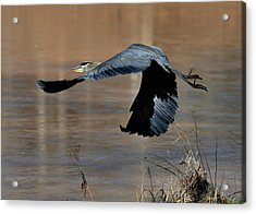 Great Blue Heron Flight - C1287g Acrylic Print by Paul Lyndon Phillips
