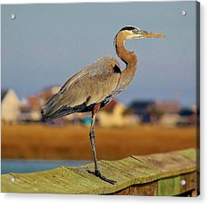 Great Blue Heron On The Marsh Acrylic Print by Paulette Thomas