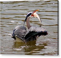 Great Blue With A Drum Acrylic Print by Robert Frederick