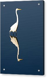 Great Egret Reflected Acrylic Print by Sally Weigand