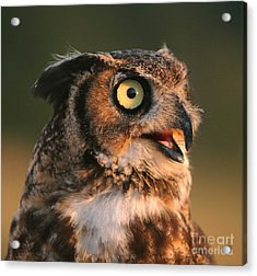 Great Horned Owl Acrylic Print by Clare VanderVeen