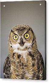 Great Horned Owl Acrylic Print by Henry Georgi Photography Inc