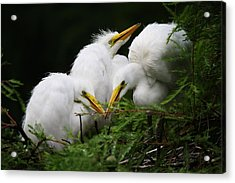 Great White Egret Babies In The Nest Acrylic Print by Paulette Thomas