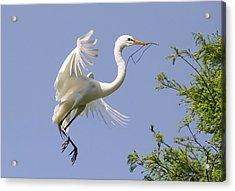 Great White Egret Building A Nest Acrylic Print by Paulette Thomas