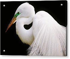 Great White Egret In Breeding Plumage Acrylic Print by Paulette Thomas