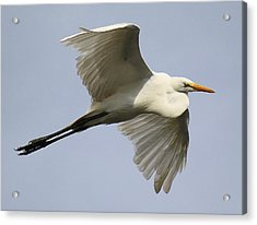 Great White Egret In Flight Acrylic Print by Paulette Thomas