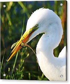 Great White Egret In The Lizard Acrylic Print by Paulette Thomas