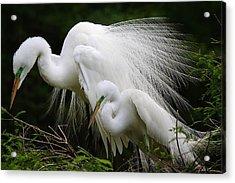 Great White Egret Mates Acrylic Print by Paulette Thomas