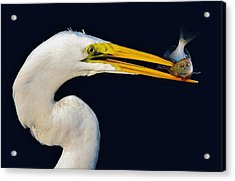 Great White Egret With His Catch Acrylic Print by Paulette Thomas