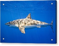 Great White Shark Carcharodon Carcharias Acrylic Print by Carson Ganci