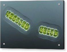 Green Algae, Light Micrograph Acrylic Print by Frank Fox