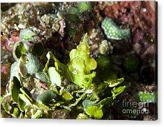 Green Arrowhead Crab, Papua New Guinea Acrylic Print by Steve Jones