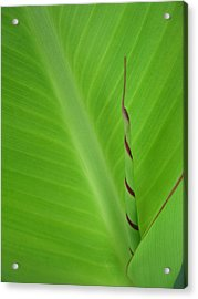 Green Leaf With Spiral New Growth Acrylic Print by Nikki Marie Smith