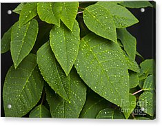 Green Leaves And Water Drops Acrylic Print by James BO  Insogna