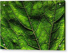 Green Pumpkin Leaf Acrylic Print by Matt Dobson