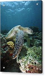 Green Sea Turtle Chelonia Mydas Acrylic Print by Hiroya Minakuchi