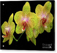 Green Spotted Orchids Acrylic Print by Merton Allen